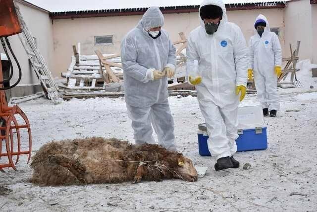 Сибирская язва животных с картинками